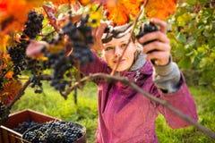 妇女采摘葡萄 免版税图库摄影