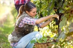 妇女采摘葡萄 库存图片