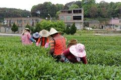 妇女采撷茶 免版税图库摄影
