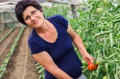 妇女从庭院的采摘蕃茄 免版税库存图片