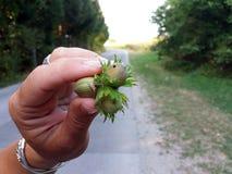 妇女` s手拿着一颗新鲜被收获的榛子 图库摄影