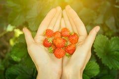 妇女` s的特写镜头图象递拿着束草莓 在收获以后的女性举行的极少数新鲜的草莓从庭院 库存照片