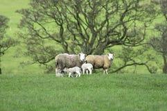 妈咪和新的羊羔 库存照片