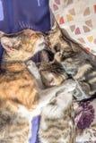 妈咪猫和小猫在长沙发一起使用 库存图片