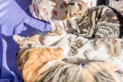 妈咪猫和小猫在长沙发一起使用 免版税库存照片
