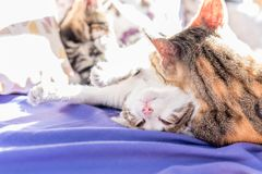 妈咪猫和小猫在长沙发一起使用 免版税图库摄影