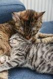 妈咪舔小猫的猫 图库摄影