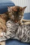 妈咪舔小猫的猫 免版税库存图片