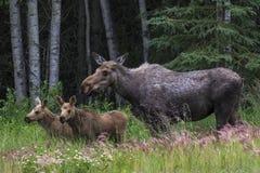 妈妈和双小牛麋 免版税库存照片