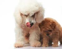 妈妈和小狗长卷毛狗 库存图片