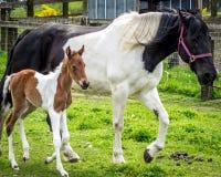 妈妈和小马 免版税库存图片