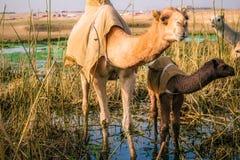 妈妈和小骆驼在科威特沙漠 免版税库存图片