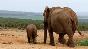 妈妈和我-非洲人布什大象 免版税库存照片