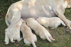 妈妈和拉布拉多小狗一个月大幼儿 免版税图库摄影