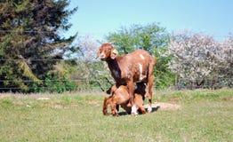 妈妈山羊和婴孩 免版税图库摄影
