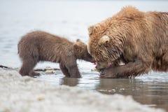 妈妈熊和她的崽 免版税库存照片
