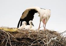 妈妈白的鹳保护它的小鸡 免版税库存图片