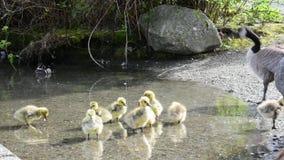 妈妈鹅让她的幼鹅喝水 股票视频
