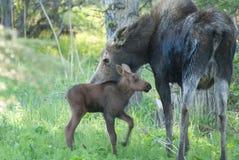 妈妈麋和小小牛 免版税库存图片