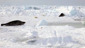 妈妈寻找在冰的逗人喜爱的新出生的小海豹 影视素材