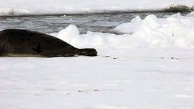 妈妈寻找在冰的逗人喜爱的新出生的小海豹 股票视频