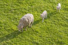 妈妈绵羊引导的羊羔 库存图片