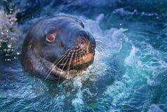 妓女海狮Phacarctos hookeri NZ是最罕见的在wo 库存照片
