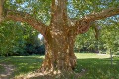 妖怪美国梧桐,老gigant悬铃树 库存图片
