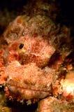 妖怪鱼亚齐印度尼西亚佩戴水肺的潜水 免版税库存照片