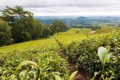 姆兰杰的美丽的绿茶种植园在马拉维 免版税库存照片