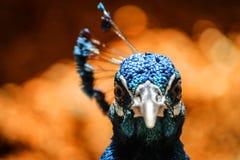 从委内瑞拉的孔雀画象 库存照片