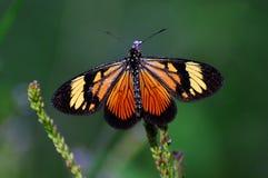 委内瑞拉的安地斯的黑脉金斑蝶 免版税库存照片
