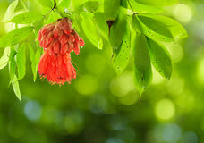 委内瑞拉的猩红色罗斯抽象绿色背景的。 免版税图库摄影