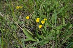 委陵菜开花植物在草甸在春天 图库摄影