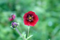 委陵菜花在花谷, Uttarkhand,印度发现了 库存照片