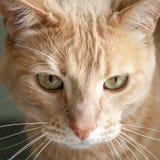 姜与绿色黄色眼睛的虎斑猫头  免版税库存照片