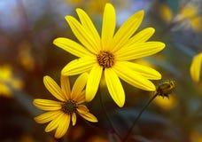 洋姜两朵花  库存照片