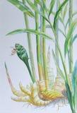 绘姜和绿色叶子的原始的现实草本水彩 库存图片