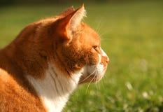 姜家猫 库存图片