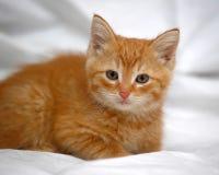 姜小猫 免版税库存照片