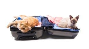 姜平纹和暹罗猫在一件开放行李 库存照片