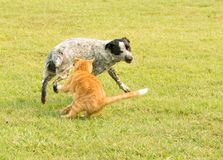 姜扑打在一条讨厌被察觉的狗的虎斑猫 库存图片
