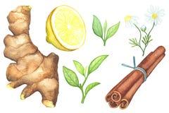 姜根,柠檬裁减,春黄菊,桂香在白色背景的水彩绘画 库存图片