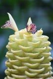姜植物 免版税库存照片