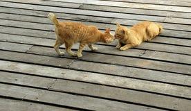 姜猫亲吻 免版税库存图片
