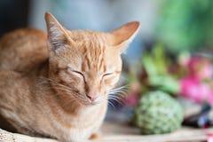 姜猫关闭画象注视和睡觉 库存图片