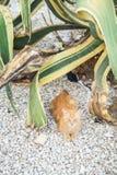 姜猫发现了一些树荫在一棵巨大的龙舌兰植物下在猫公园观点,在阿尔布费拉海滩,阿尔加威,葡萄牙 免版税库存照片