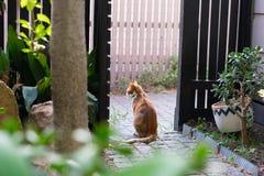 姜猫在庭院里 库存图片