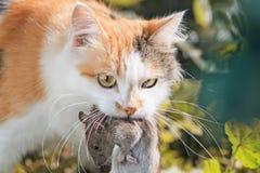 姜猫捉住了一只大灰色鼠 免版税图库摄影