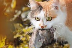 姜猫捉住了一只大灰色鼠 库存图片